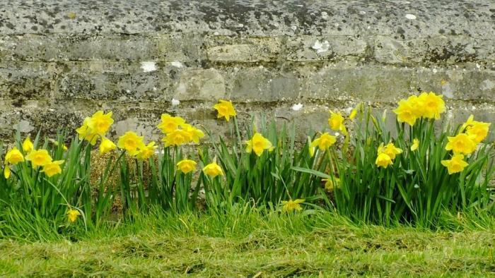 muchelney daffodils AJM